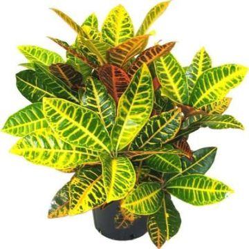 Planta De Interior - Planta Interior Hoja - Croton Mix Altura 40cm Maceta 17cm