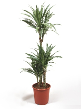 Planta De Interior - Planta Interior Hoja - Dracena Deremensis Alto Troncos 90/60/30cm M30