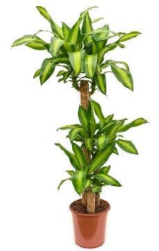 Planta De Interior - Planta Interior Hoja - Dracena Massageana Alto Troncos 90/60/30cm M22