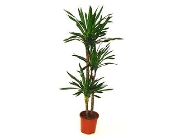 Planta De Interior - Planta Interior Hoja - Dracena Ricki  Altura Troncos 60/30/15 C20