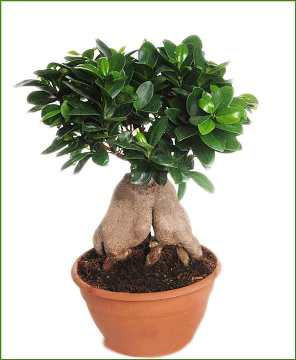 Planta De Interior - Planta Interior Hoja - Ficus Ginseng Tarrina 20cm