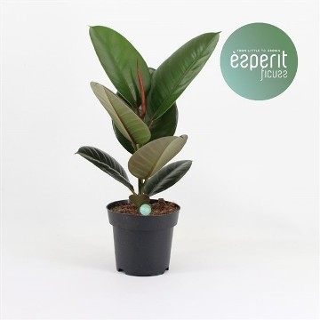 Planta De Interior - Planta Interior Hoja - Ficus Elastica Robusta 35cm Maceta 14cm