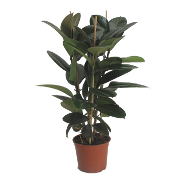 Planta De Interior - Planta Interior Hoja - Ficus Robusta Altura 90cm 3 Cañas Maceta 20cm