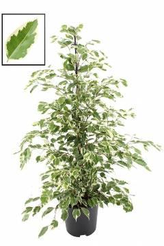 Planta De Interior - Planta Interior Hoja - Ficus Twilight Alto 0.90cm Y Maceta 17cm