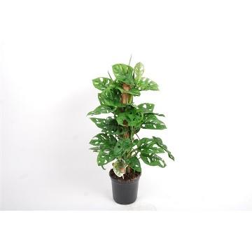 Planta De Interior - Planta Interior Hoja - Monstera Obliqua 20cm Altura Y Maceta 12cm