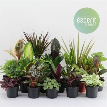 Planta De Interior - Planta Interior Hoja - Plantas Surtidas Maceta 8,5cm