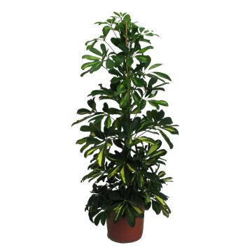 Planta De Interior - Planta Interior Hoja - Schefflera Dalton Altura 0,90 Cm Maceta 17cm