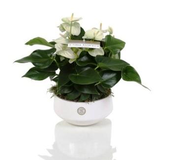 Planta De Interior - Planta Interior Flor - Anthurium Blanco 30cm + Maceta Ceramica 17cm