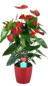 Planta De Interior - Planta Interior Flor - Anthurium Dakota 60cm Alto Rojo + Maceta 17cm
