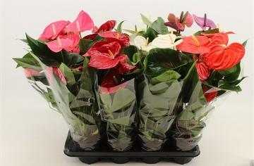 Planta De Interior - Planta Interior Flor - Anthurium Mix Maceta14cm