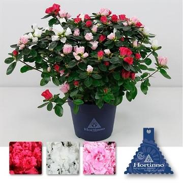 Planta De Interior - Planta Interior Flor - Azalea Bicolor Maceta 13cm