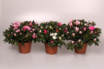 Planta De Interior - Planta Interior Flor - Azalea Mix Maceta 12cm