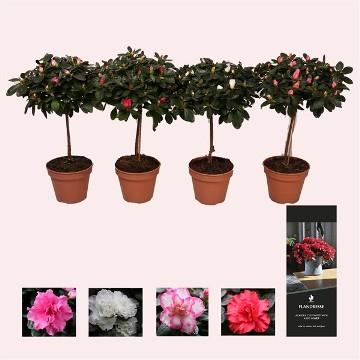 Planta De Interior - Planta Interior Flor - Azalea Copa Maceta 13cm
