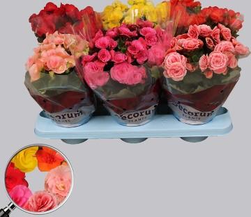 Planta De Interior - Planta Interior Hoja - Begonia Maceta12cm Alto 20cm