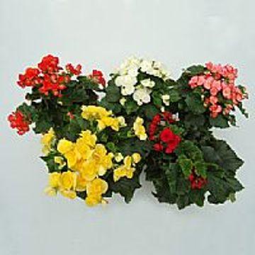 Planta De Interior - Planta Interior Flor - BEGONIA ELATIOR MACETA 15CM