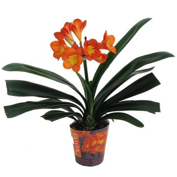 Planta De Interior - Planta Interior Flor - Clyvia Miniata Naranja Maceta 13cm