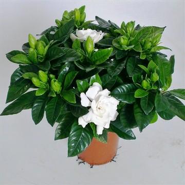 Planta De Interior - Planta Interior Flor - Gardenia Maceta 17cm