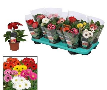 Planta De Interior - Planta Interior Flor - Gerbera Maceta 13cm