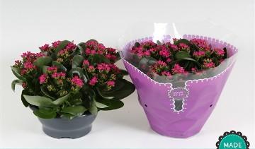 Planta De Interior - Planta Interior Flor - Kalanchoe Bloss. Tarrina 23cm