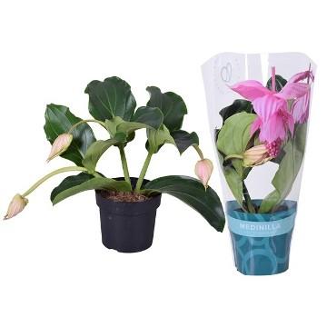 Planta De Interior - Planta Interior Flor - MEDINILLA MAGNIFICA PINATUBO MACETA 17CM