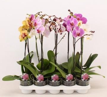 Planta De Interior - Planta Interior Flor - Orquidea Mix 1 Vara Oferta