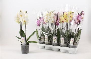 Planta De Interior - Planta Interior Flor - Orquidea 2 Varas M12