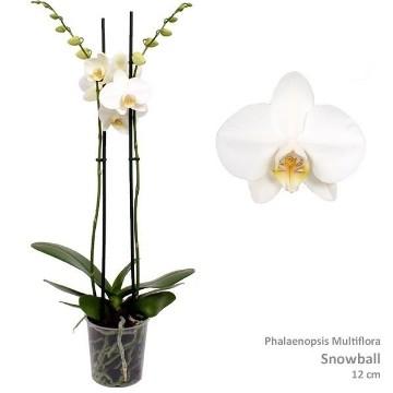 Planta De Interior - Planta Interior Flor - ORQUIDEA 2 VARAS TROPIC BLANCA MACETA 12CM