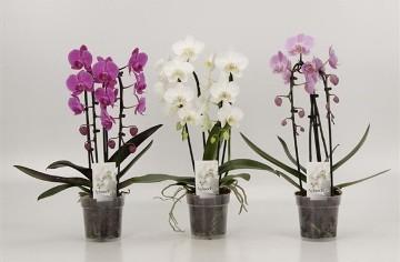 Planta De Interior - Planta Interior Flor - Orquidea Cascada Con 2 Varas Maceta 12cm