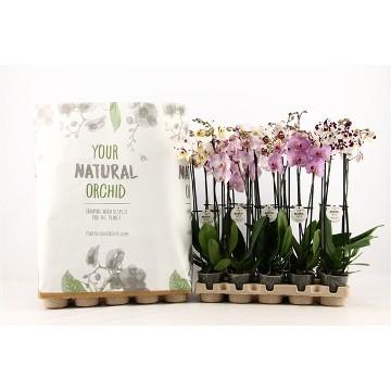 Planta De Interior - Planta Interior Flor - Orquidea 2varas Mezcla M12