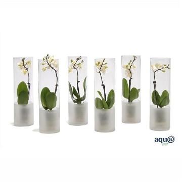 Planta De Interior - Planta Interior Flor - Orquidea Mini 1 Vara Blanca Maceta 6cm
