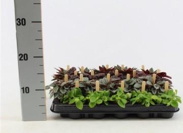Planta De Interior - Planta Interior Flor - Peperomia Bambino M5,5cm