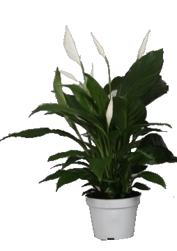 Planta De Interior - Planta Interior Flor - Spatiphyllum Chico Maceta 13cm