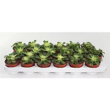 Planta De Interior - Cactus Y Crasas - Aeonium Tricolor Kiwi Maceta 8,5cm