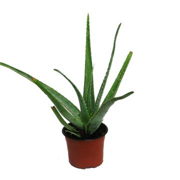 Planta De Interior - Todas - Aloe Vera Maceta 19cm