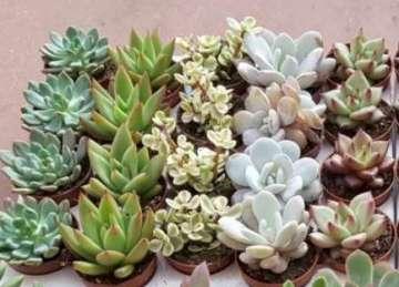 Planta De Interior - Cactus Y Crasas - CACTUS Y CRASAS  MACETA 5,5CM VARIADOS