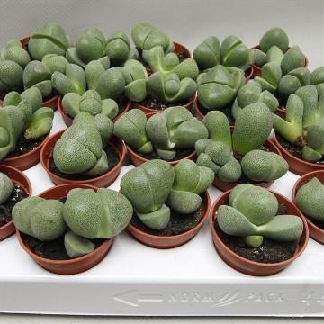 Planta De Interior - Cactus Y Crasas - Lithops O Cactus Piedra Maceta 8,5cm