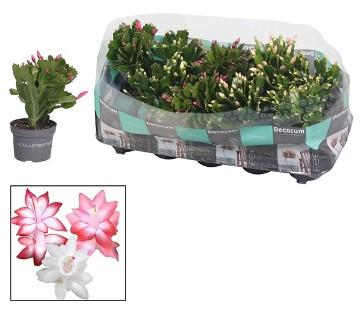 Planta De Interior - Cactus Y Crasas - Schlumbergera Tres Colores Maceta 9cm