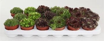 Planta De Interior - Todas - Sempervivum Maceta 8,5cm