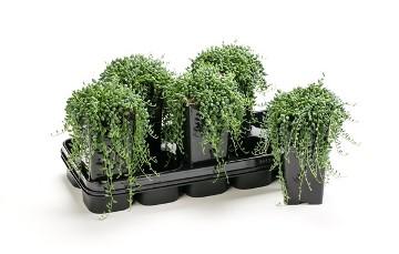 Planta De Interior - Todas - Senecio Herreianus Maceta 14cm