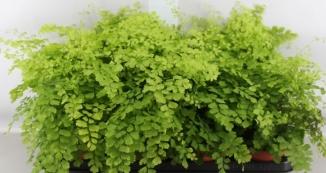Planta De Interior - Helechos - Adiantum Fragans 1,6l