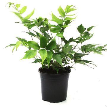 Planta De Interior - Helechos - Cyrtomium Falcatum Maceta 15cm