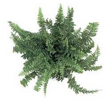 Planta De Interior - Helechos - Helecho Cordata Maceta15cm