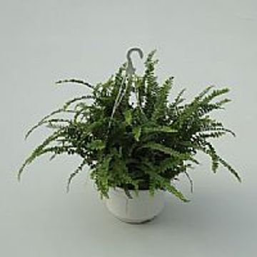 Planta De Interior - Todas - Helecho Cordifolia Duffi 1,5l