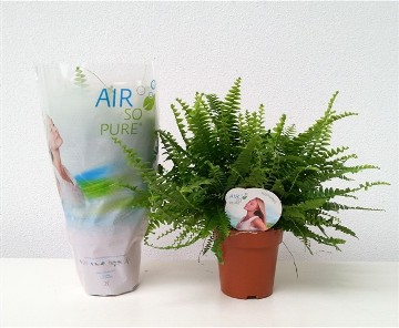Planta De Interior - Helechos - Helecho Green Lady Maceta 12cm