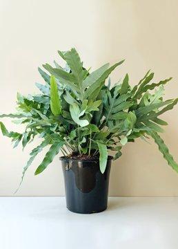 Planta De Interior - Helechos - Helecho Phlebodium Aureum Maceta 15cm