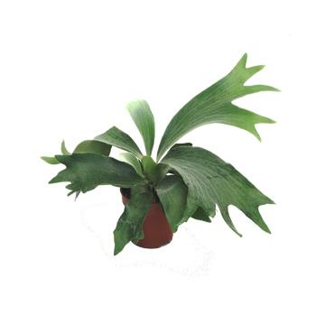 Planta De Interior - Todas - Platycerium M15