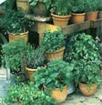 Semillas Ecologicas - Todas - Semillas Aromaticas Ecologicas